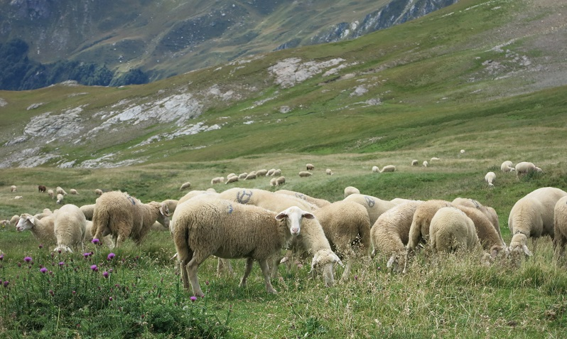 Sheep near Korab