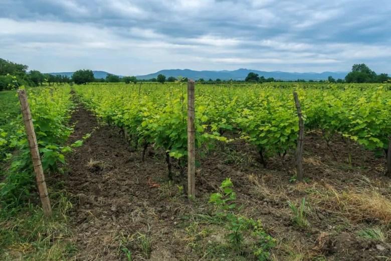 8 Kakheti - Wijnvelden