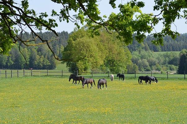 Anweiden Pferde