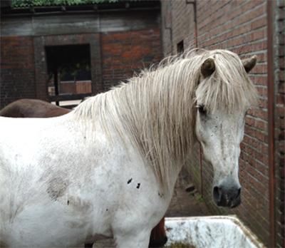 Pferde - Baldur