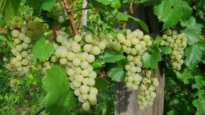 mencegah diabetes dengan anggur