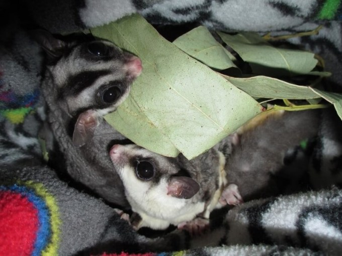 jenis sugar glider white face