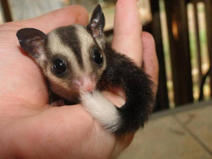 jenis sugar glider white tip tail