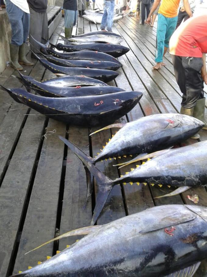 harga ikan tuna saat ini