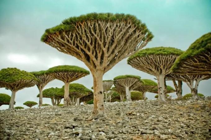 tumbuhan-pulau-socotra