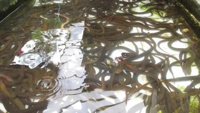 kolam-budidaya-belut