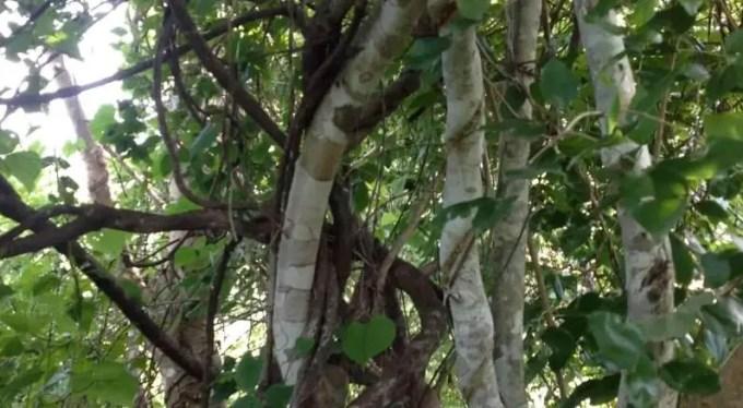 pohon-kayu-ular