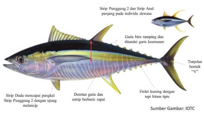 biologi ikan tuna sirip kuning
