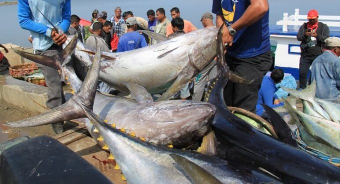 pasar ikan tuna sirip kuning