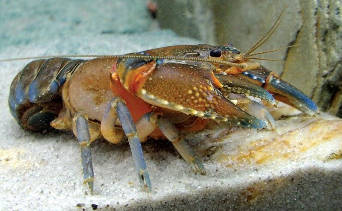 lobster coklat air tawar