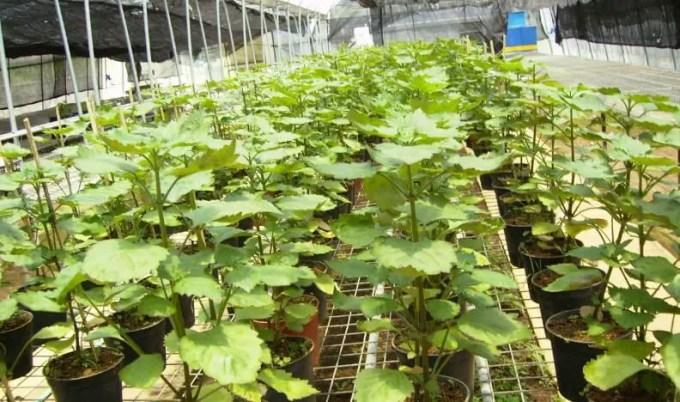 tanaman nilam