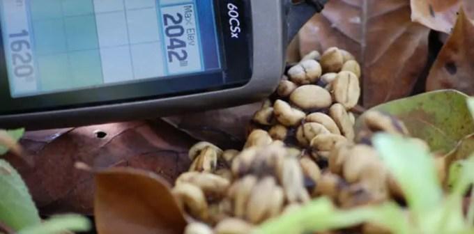 kopi luwak organik dari gayo