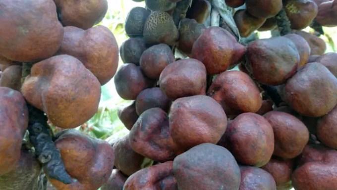 manfaat buah zuriat untuk kesehatan