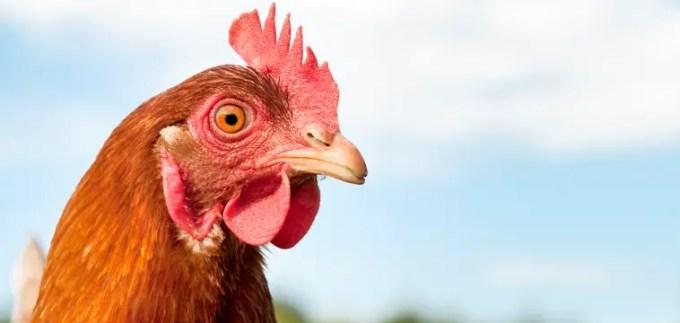 manfaat buah mengkudu untuk ayam