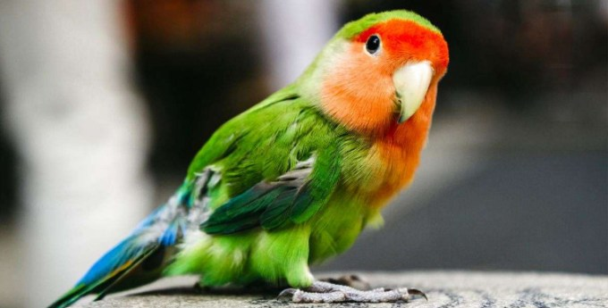 manfaat buah mengkudu untuk love bird