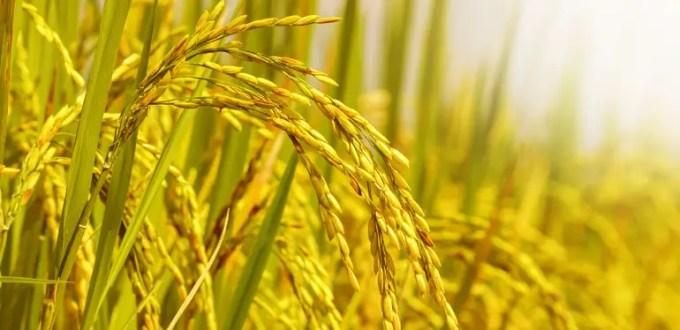 manfaat buah mengkudu untuk padi