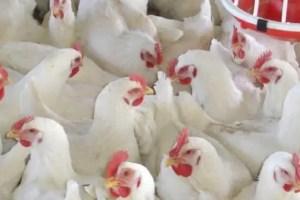 harga ayam broiler saat ini
