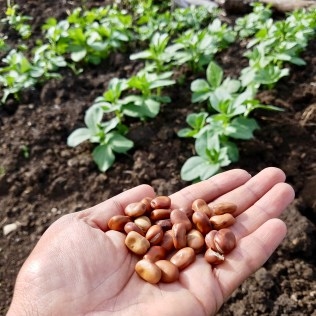 Field Beans, with plants growing in background.