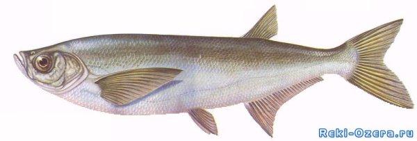 Рыбы Чехонь Фото