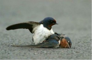 Swallow and his mate