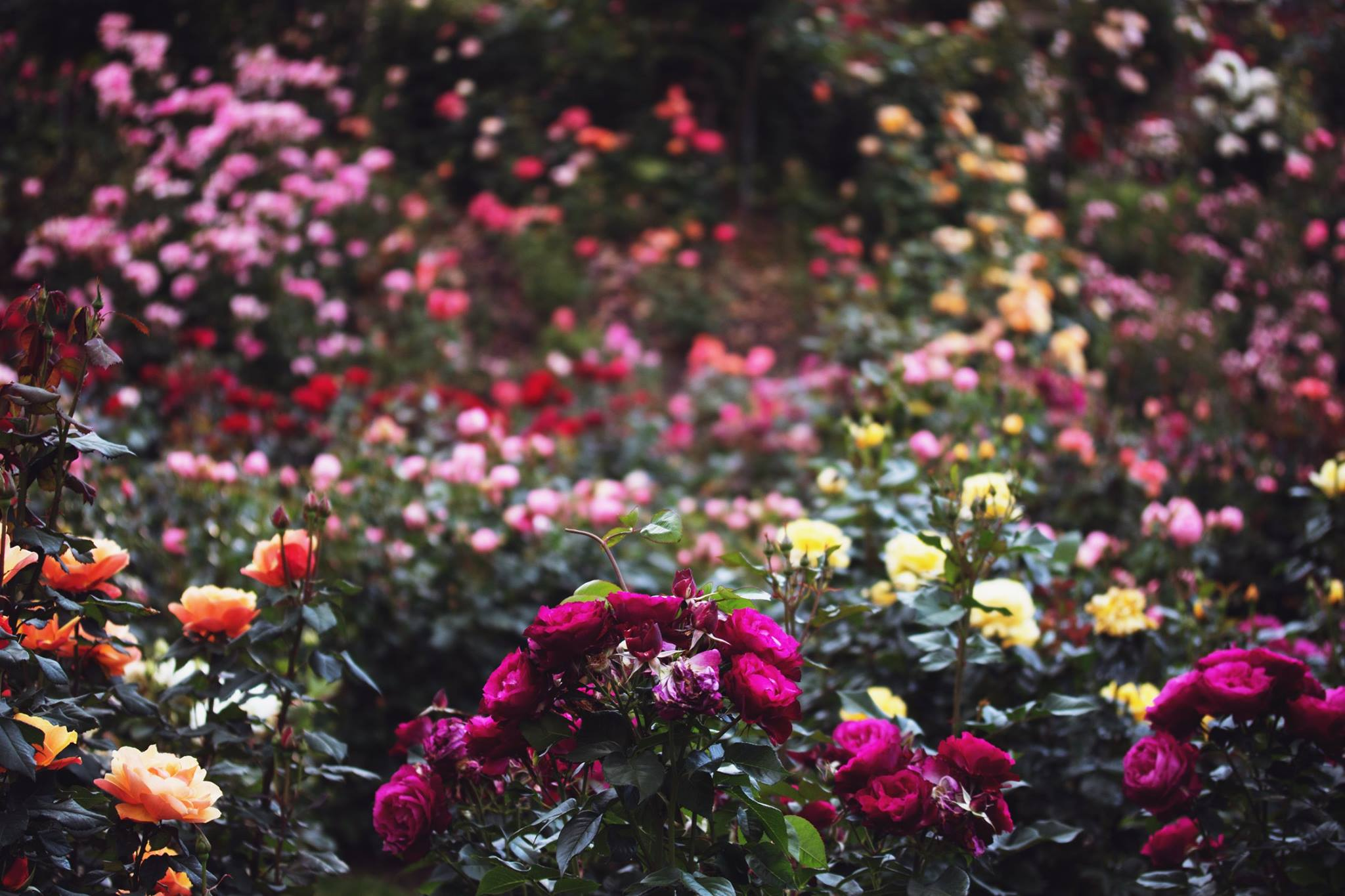 Portland's International Rose Test Garden