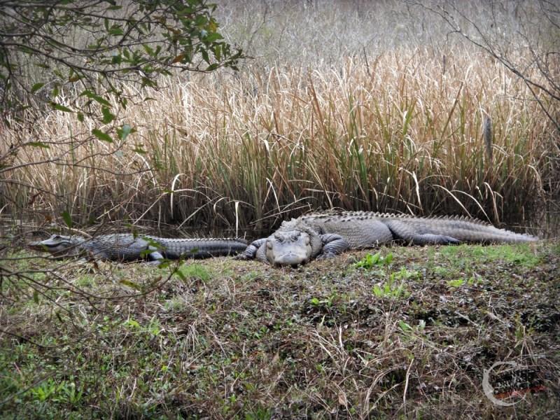 American Alligators Brookgreen Gardens