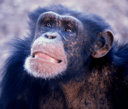 705px-Young_male_chimp