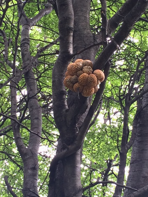 Lenga tree fungus.