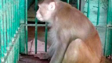 """Photo of Un mono """"alcohólico"""" mata a un hombre y hiere a 250 personas en La India"""