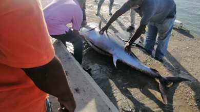 Photo of Tremendo pez 300 libras que atraparon hoy en Montecristi Playa Costa Verde.