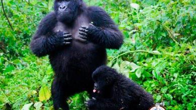 Photo of Descubren que los gorilas se golpean el pecho para indicar su tamaño