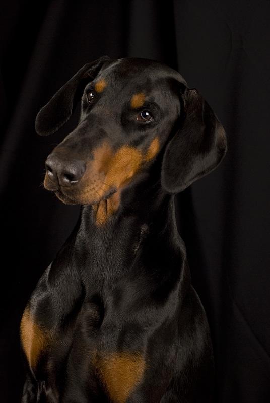 Zelva - dobermann, 6 år
