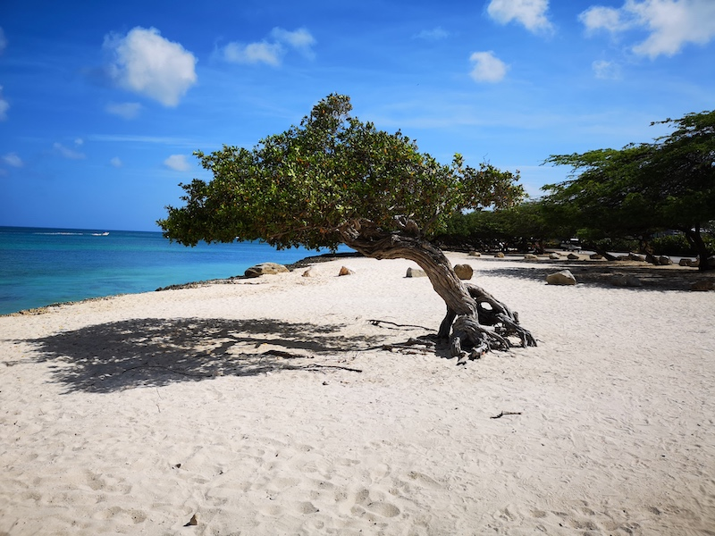 Gnarly tree on an idylic beach under blue skies with whisky white clouds in Aruba