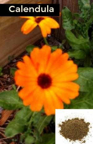 Calendula -How to Get Rid of Pink Eye (Conjunctivitis) Fast