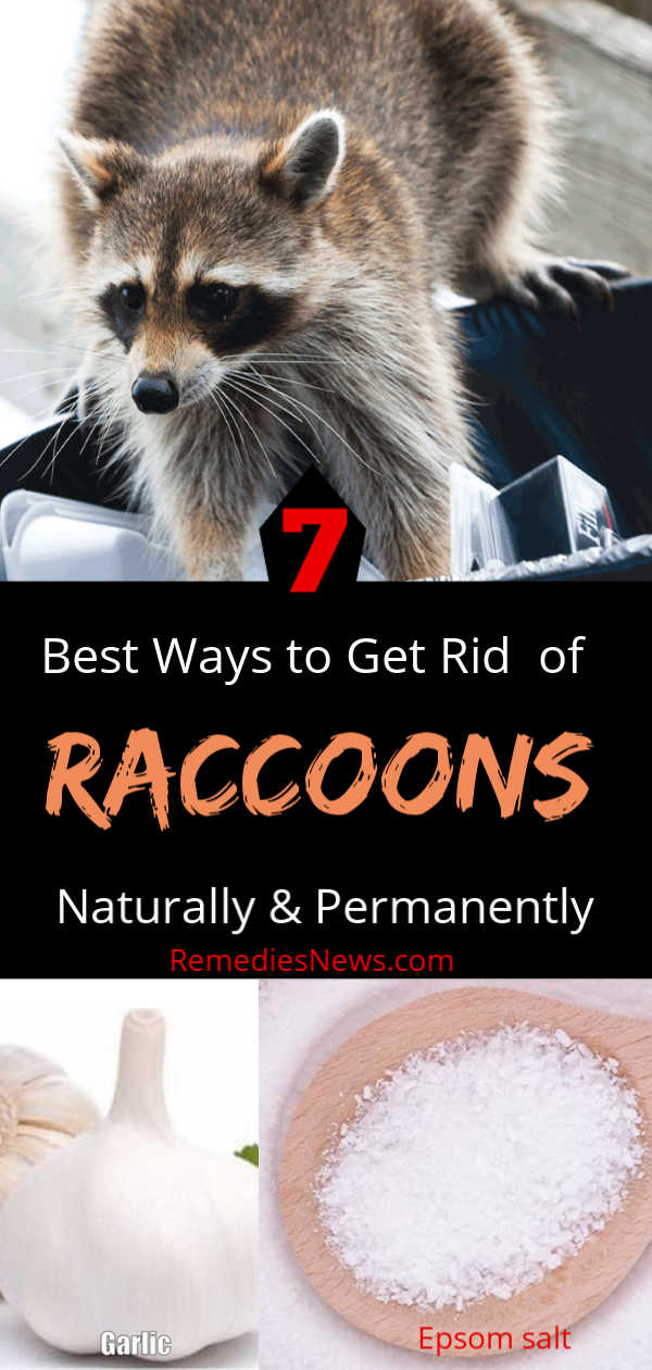 How to Get Rid of Raccoons Fast - 7 Natural Remedies