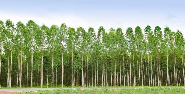 Árboles de eucalipto