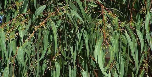 Qué es eucalipto