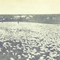 Wingadee Station - 23,000 Sheep on the Coonamble, New South Wales 1895