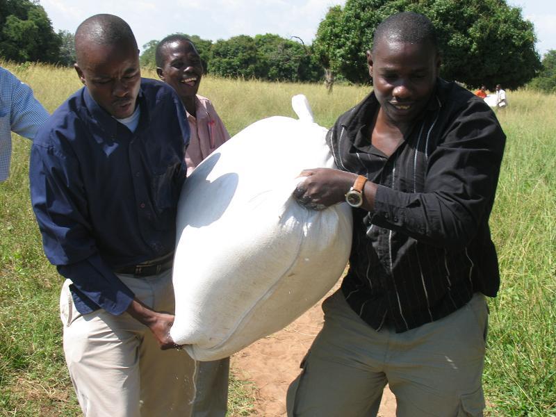 hauling the maize