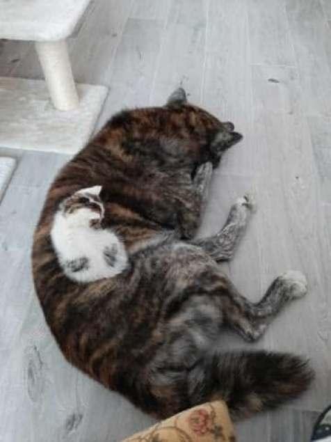 Le chaton se repose dans sa famille d'accueil