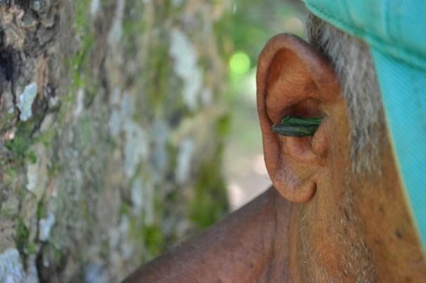 hojas de salvia para el dolor de oido