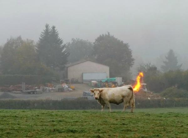 cow Se prende la vaca [foto]