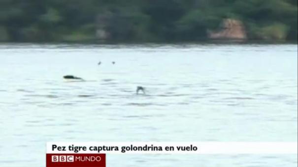 19 El pez que caza aves [Video]