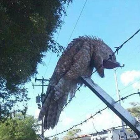 chim potoo1 Captan imágenes de un pajaro bien raro en Venezuela