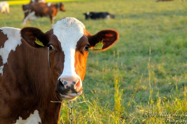 enhanced buzz 29491 1390904763 8 90 vacas explotan una granja alemana con sus peos
