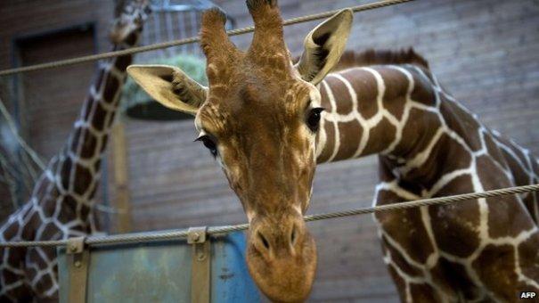 140210090415  72857557 020985601 1 Amenazas de muerte por sacrificio de jirafa en Dinamarca