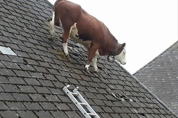 image62 Una vaca en el tejado [fotos]