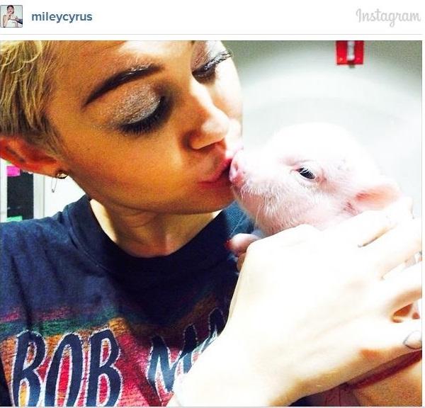 34 Chequea la cerda de Miley Cirus [Mascota]