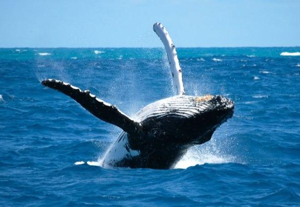 ballena jorobada   Amenazadas las ballenas jorobadas que vienen a RD