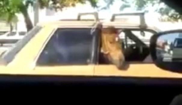 image10 Caballo viaja en la parte trasera de carro   Video